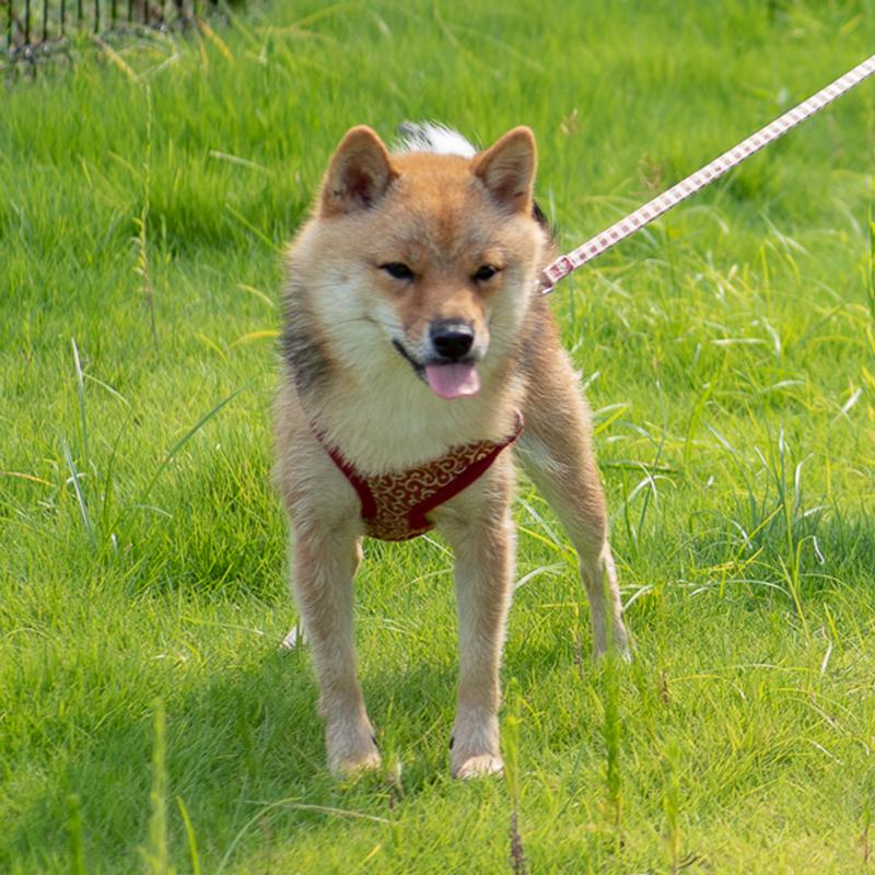 豆柴犬 花子の写真